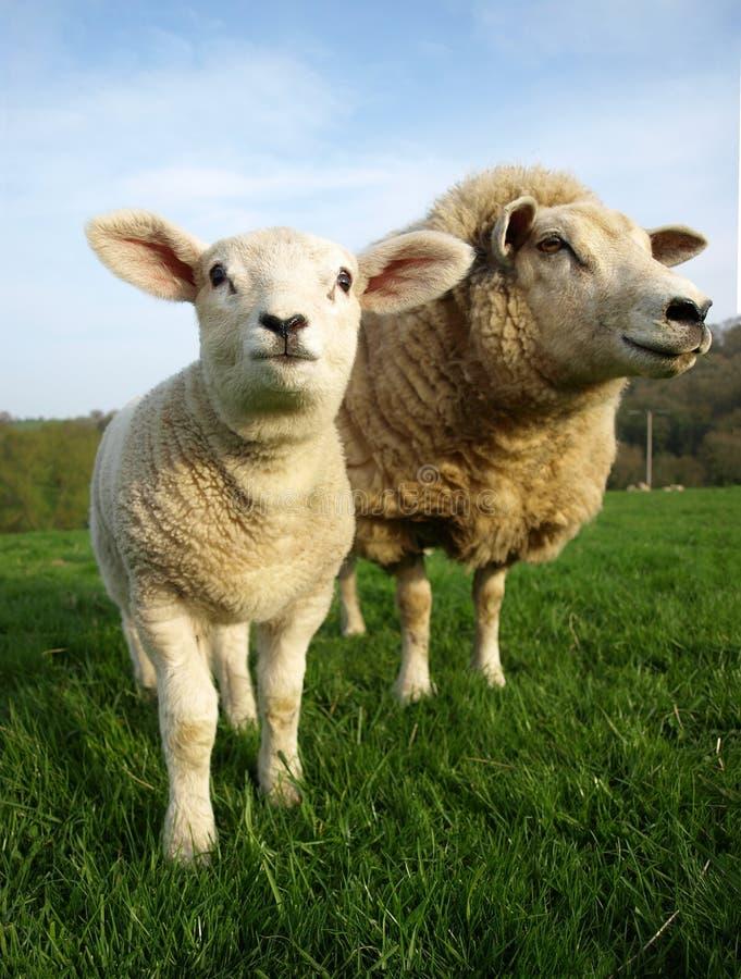 Lamb And Ewe Stock Photography
