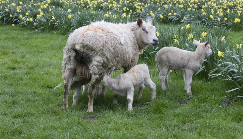 Lamb feeding from its mother with additional lamb also in shot stock photography