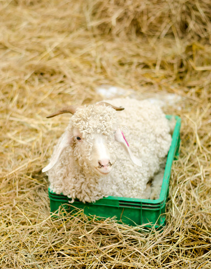 Lamb on hey in farm royalty free stock photography