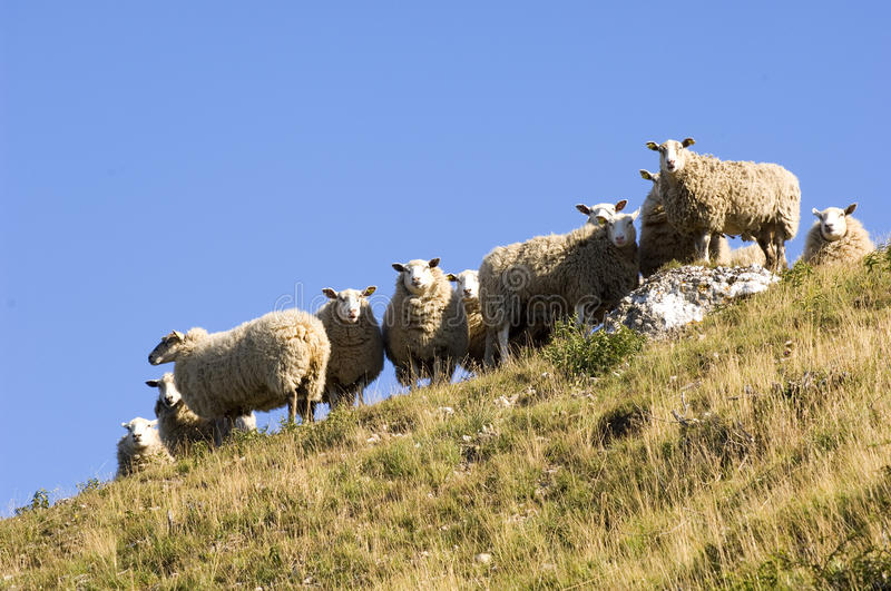 Lamb On A Hill Royalty Free Stock Photo
