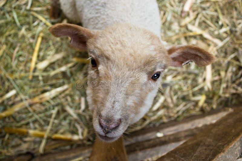lamb interesujące fotografia royalty free