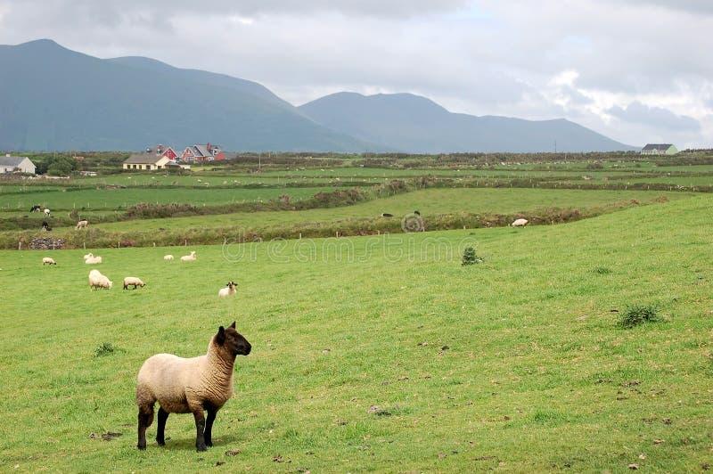 Lamb in irish landscape royalty free stock photo