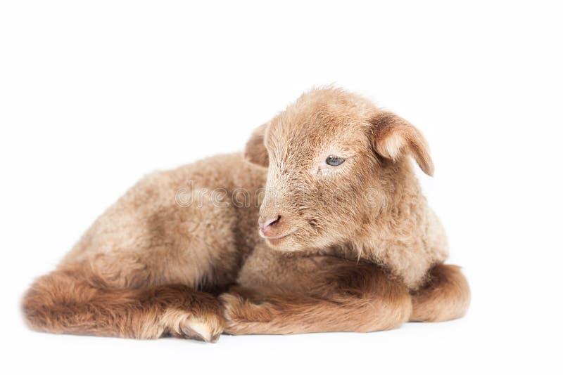 Lamb isolated on white background stock images