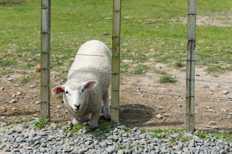 Lamb on its knees with its head through a fence royalty free stock image