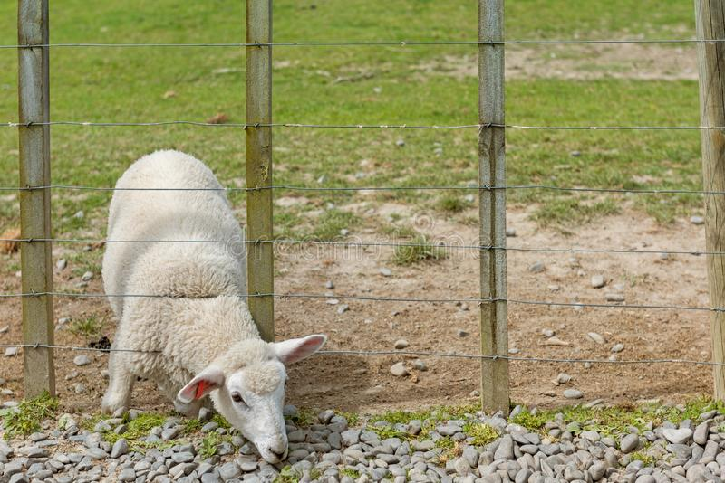 Lamb on its knees with its head through a fence royalty free stock photo