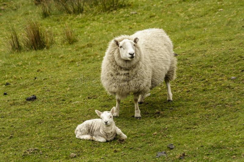 Lamb lying down with mother sheep in close attendance stock photo