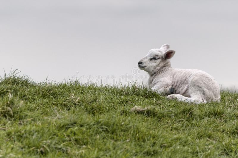 Lamb lying on the grass stock photos