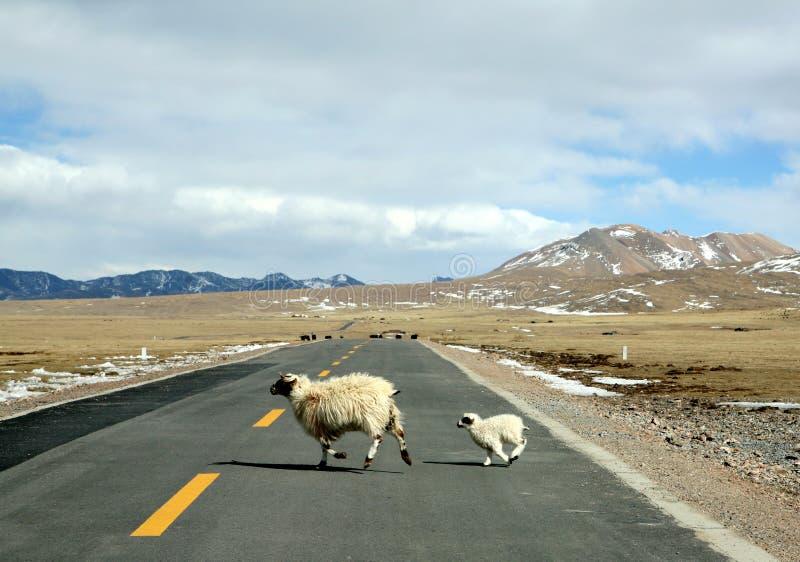 lamb maciorki zdjęcie stock