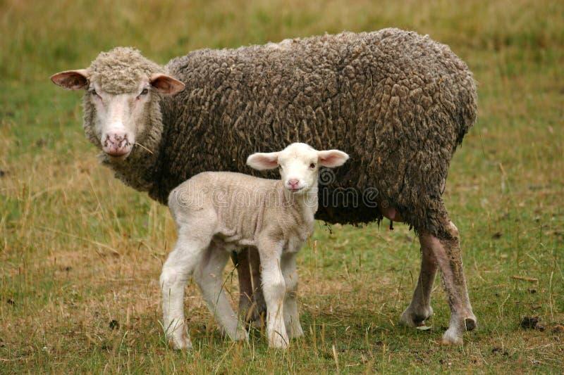 Lamb and mother sheep stock photo