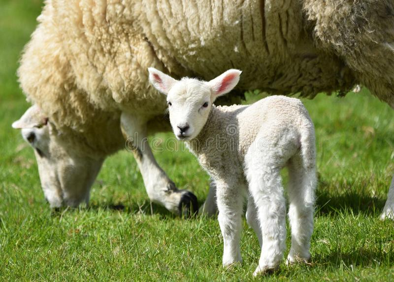 Lamb with mother sheep in springtime stock images