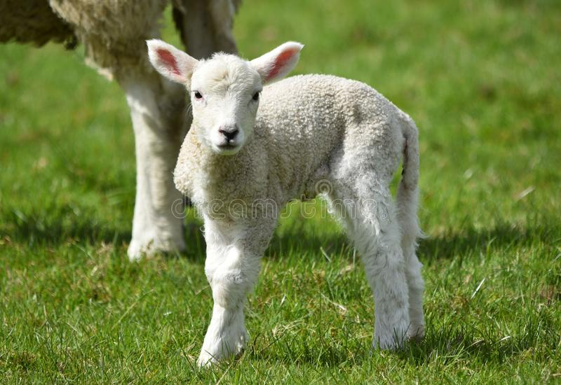 Lamb with mother sheep in springtime stock photography