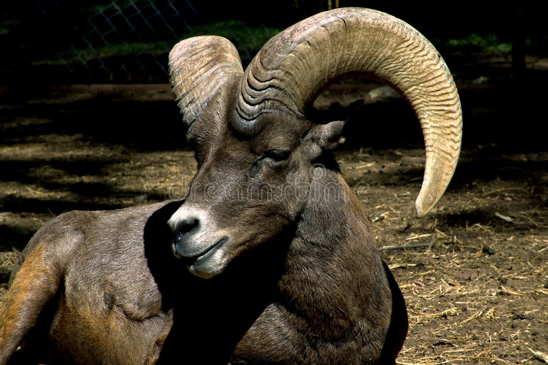 Download Lamb Muflon stock image. Image of protection, cornucopia - 103495