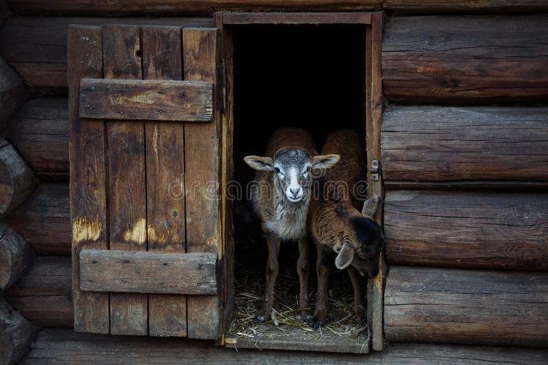 Lamb out of the house. Two lambs go out and look