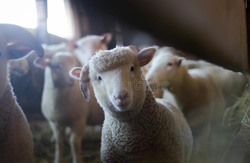 Lamb in paddock royalty free stock image