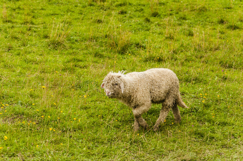 Lamb. On pasture in Poland royalty free stock photos