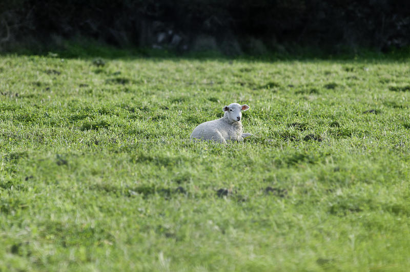 Lamb resting in the grass stock images