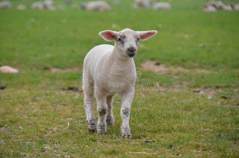 Lamb running in field royalty free stock image