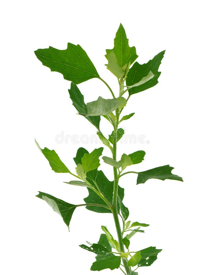 Lamb`s quarters , Chenopodium album, also known as Common lambsquarters, melde, goosefoot and fat-hen royalty free stock photos