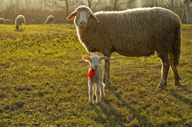 Download Lamb and sheep stock image. Image of care, cute, look - 11917053