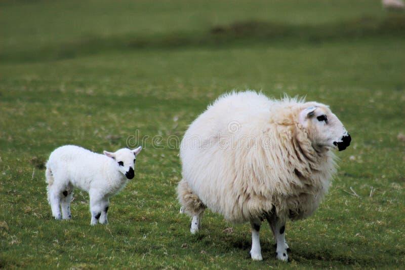 Download Lamb and sheep stock image. Image of cute, sheep, welsh - 9147333