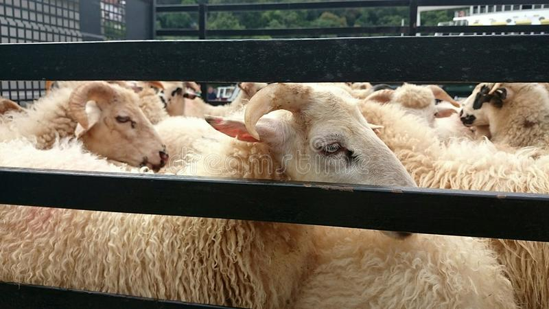 Lamb slaughter. Lambs transport by track for slaughter royalty free stock photo