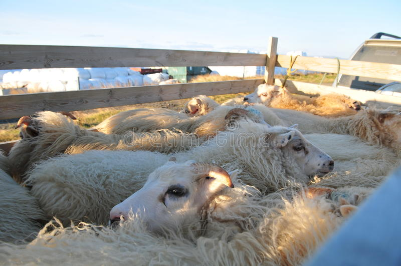 Lamb slaughter. Lamb transport by track for slaughter royalty free stock photography
