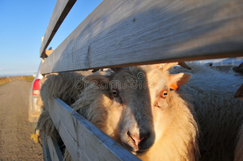 Lamb slaughter. Lamb transport by track for slaughter royalty free stock images