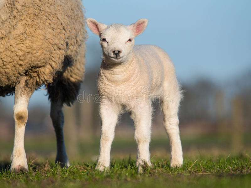 Lamb standing next to its mother facing the camera on a sunny day with green grass and blue sky stock image