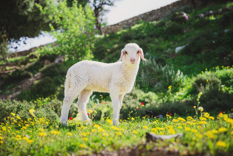 Lamb in Yellow Flowers in Jerusalem, Israel royalty free stock images