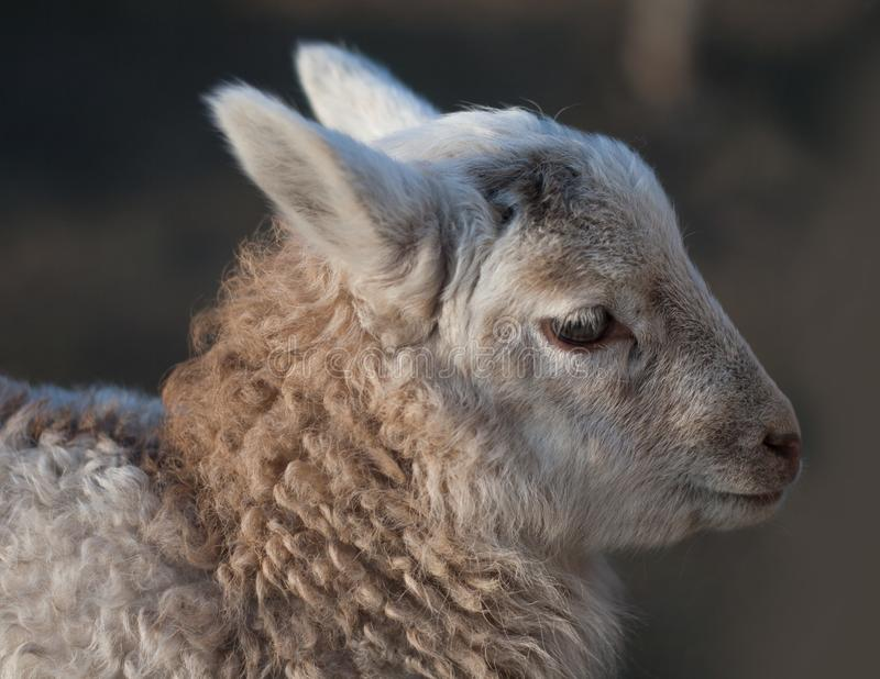 Lamb - young sheep outdoor royalty free stock photography