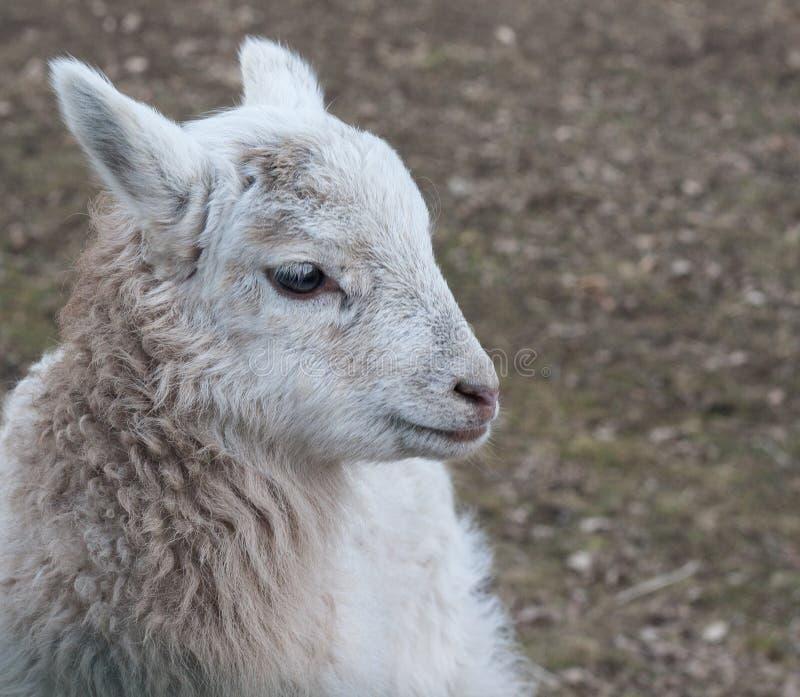 Lamb - young sheep outdoor stock image