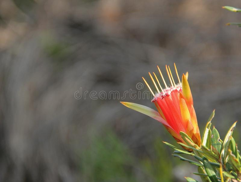 Lambertia formosa. The small spky flower of the Lambertia formosa or Mountain Devil growing along the Manly Scenic Walkway, Australia stock photography