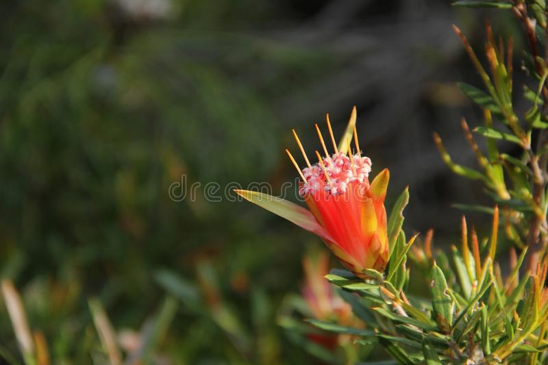 Lambertia formosa. The spiky red flower of the Lambertia formosa or Mountain Devil blooming along the Manly Scenic Walkway, Australia stock photography