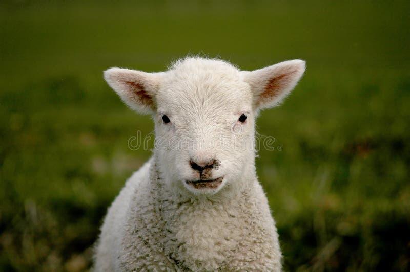 Download Lambfjäder arkivfoto. Bild av öron, lamb, unge, gulligt - 504348