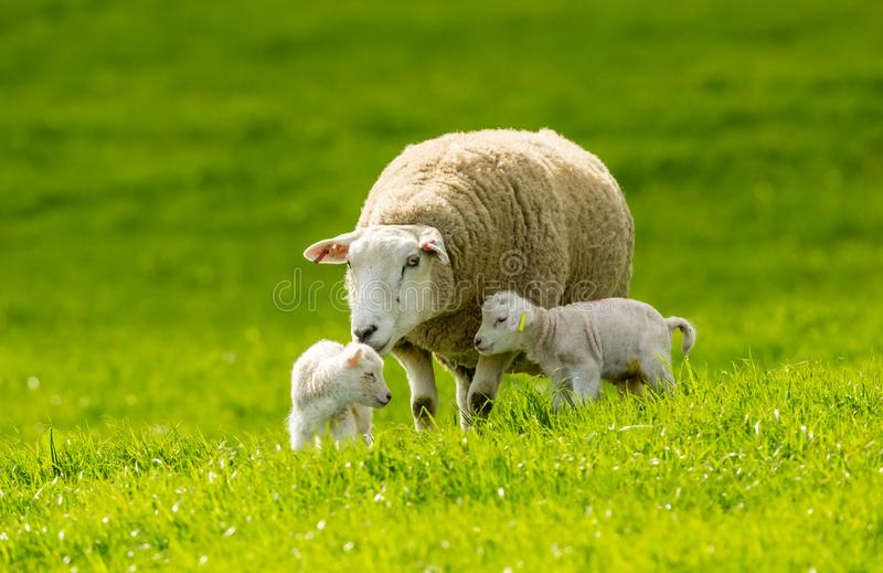 Lambing Tid Texel tacka med hennes tv? nyf?dda lamm royaltyfria foton