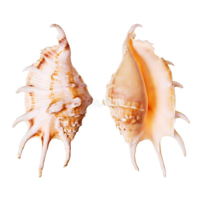 Free Lambis Seashells Stock Photography - 3190232