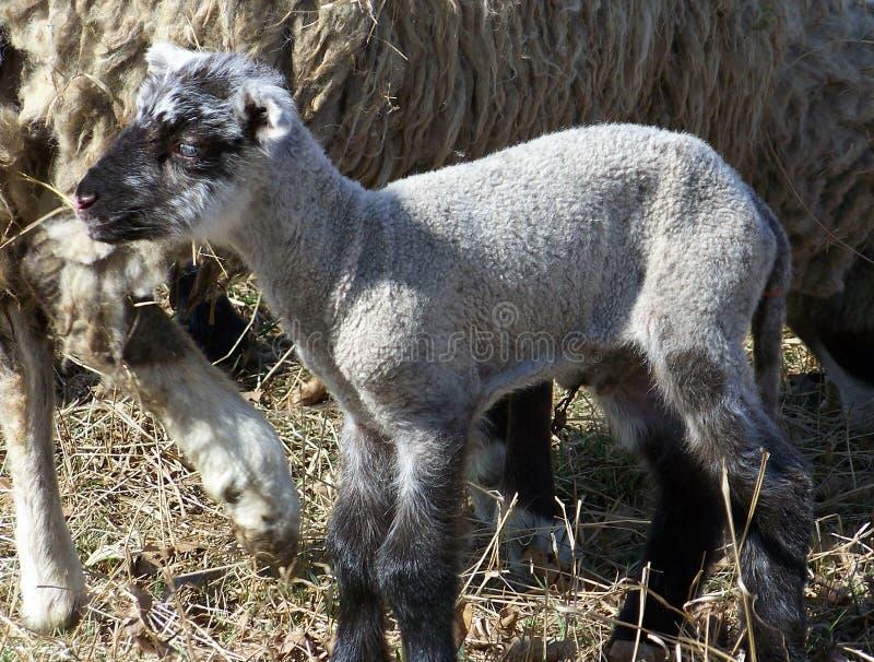Lambkin recién nacido del animal doméstico fotografía de archivo