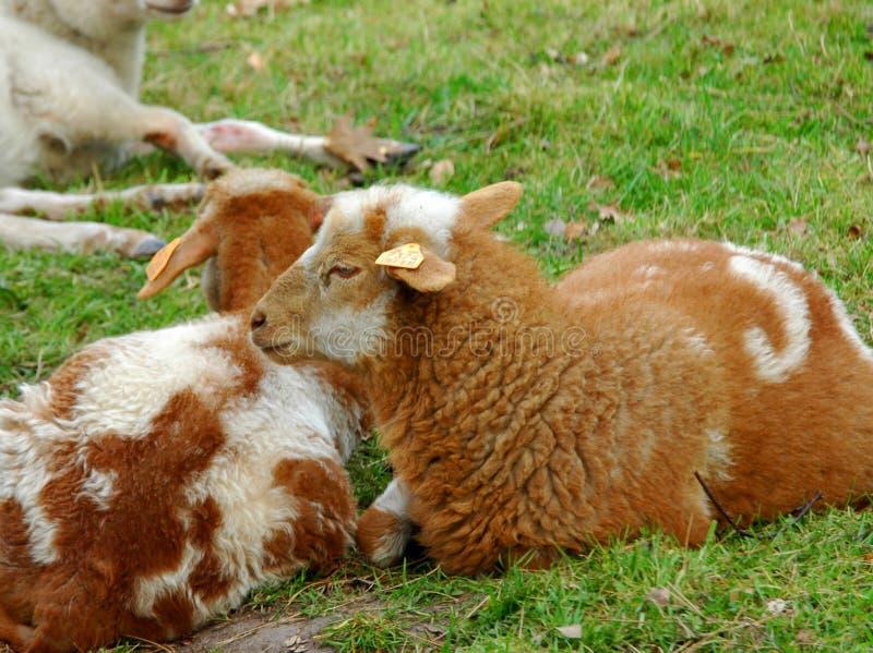 Download Lambs. stock photo. Image of grassland, green, spring, offspring - 103086