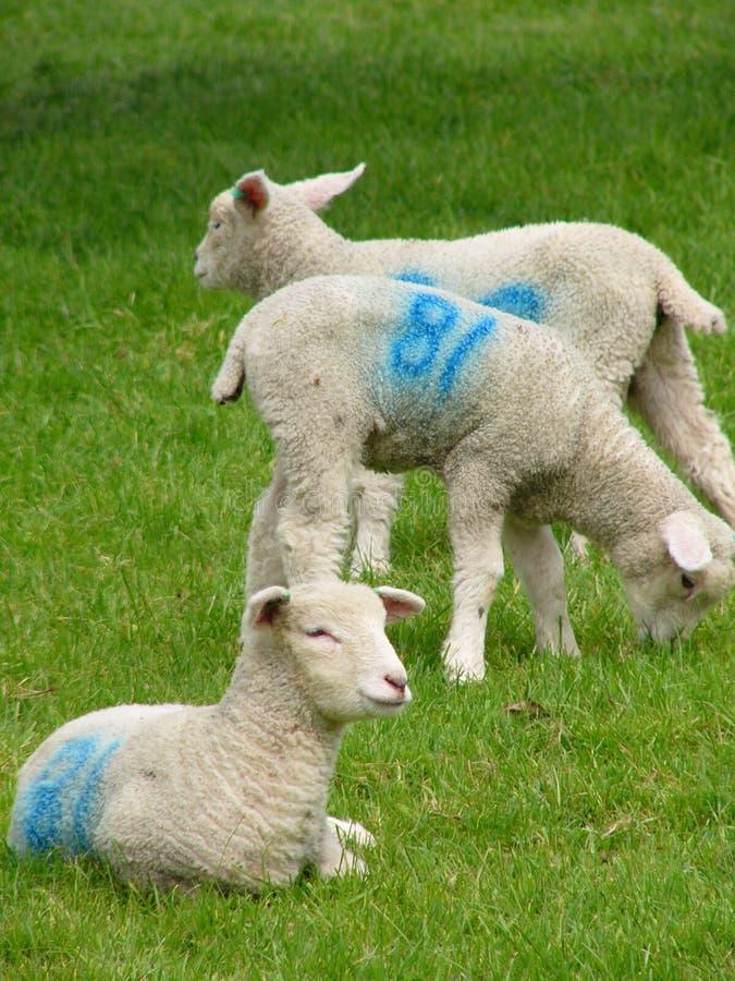 Lambs Royaltyfri Fotografi