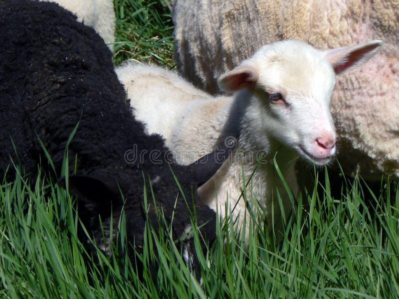 Download Lambs stock photo. Image of sunny, cute, beautiful, farm - 1169678