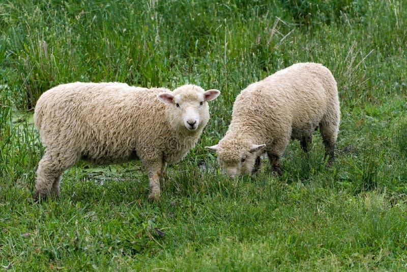 lambs royaltyfria bilder