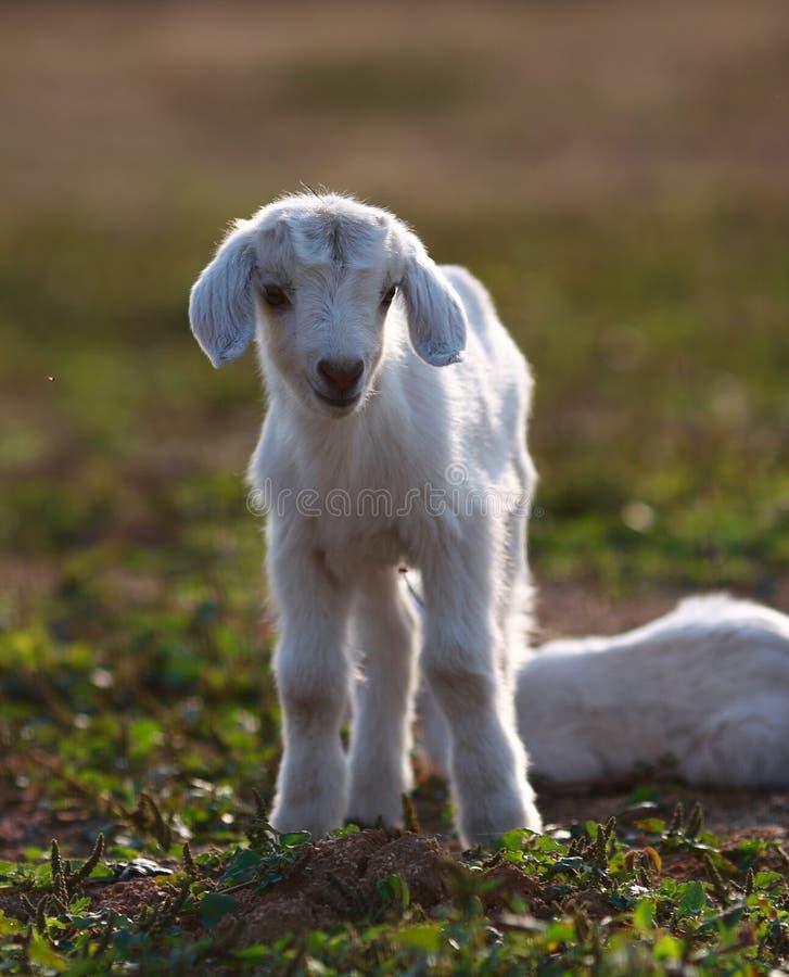 Lambs royalty free stock photo