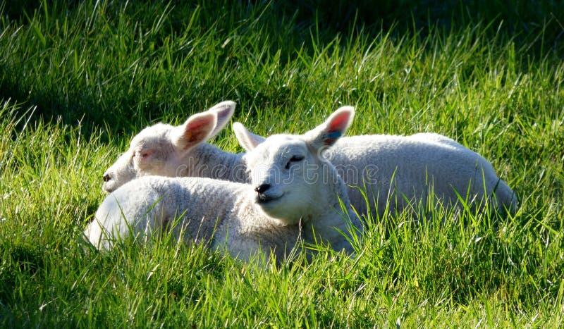 Lambs Animals Free Public Domain Cc0 Image
