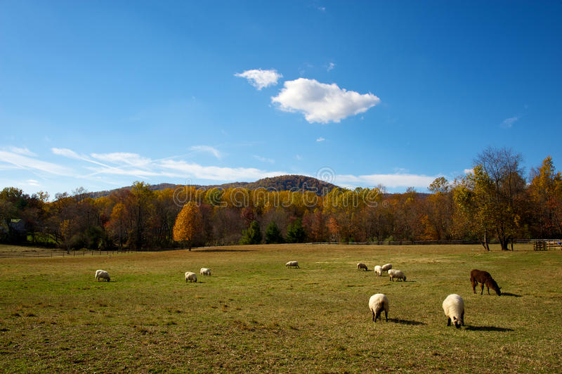 Lambs In Autumn Meadow Stock Photography