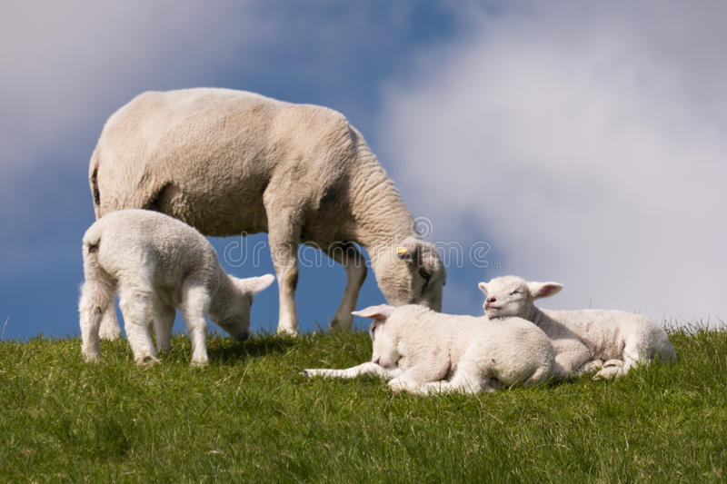 Download Lambs On The Of Westerhever Stock Photo - Image: 91240024