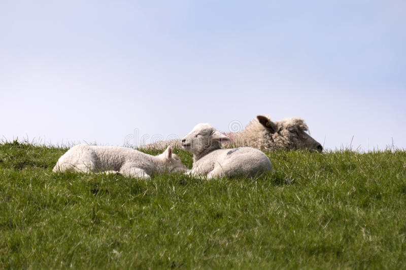 Download Lambs On The Of Westerhever Stock Image - Image: 91240541