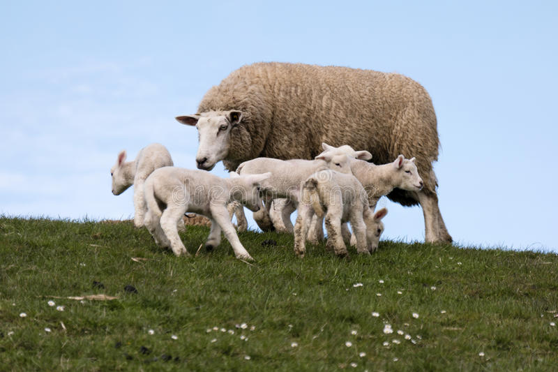 Download Lambs On The Of Westerhever Stock Photo - Image: 91240948