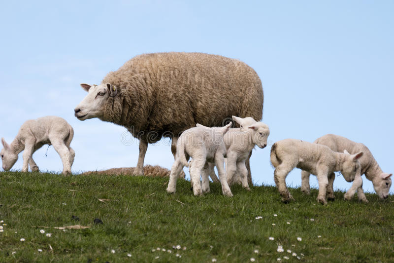 Download Lambs On The Of Westerhever Stock Photo - Image of westerhever, germany: 91241050