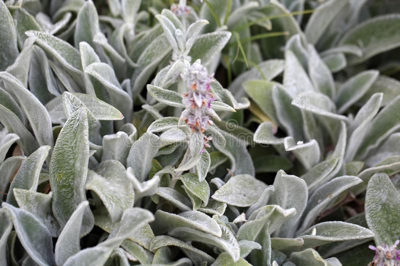 Lambs ear plant (Stachys byzantine) stock images