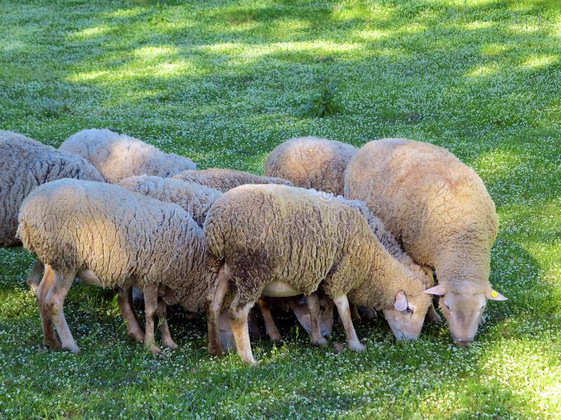 Lambs are grazing on the field stock photo